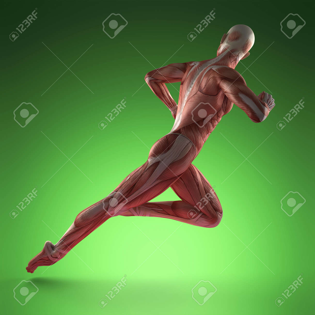 Human Muscle Anatomy Stock Photo Picture And Royalty Free Image