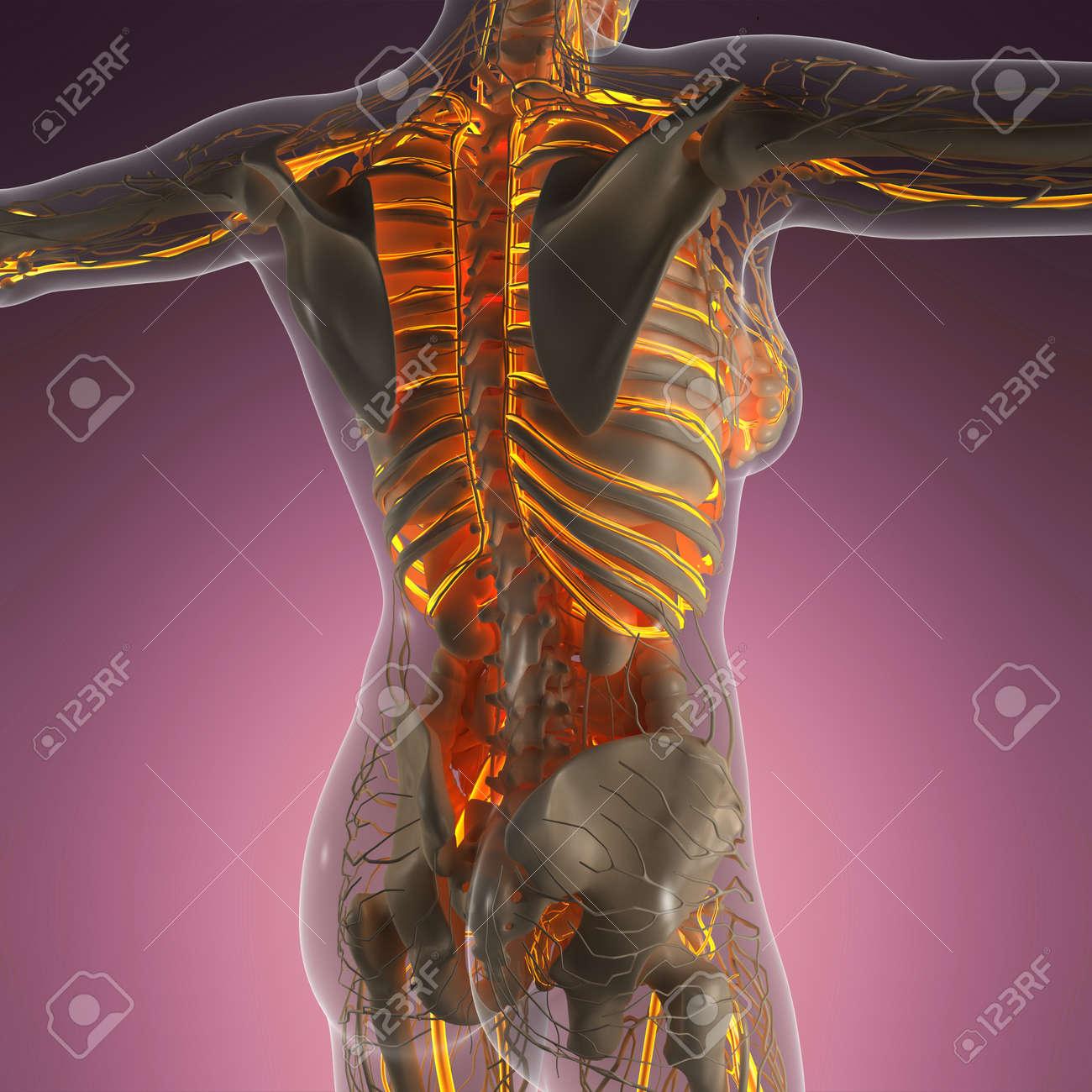 Wunderbar Anatomie Und Physiologie Fortpflanzungssystem Galerie ...