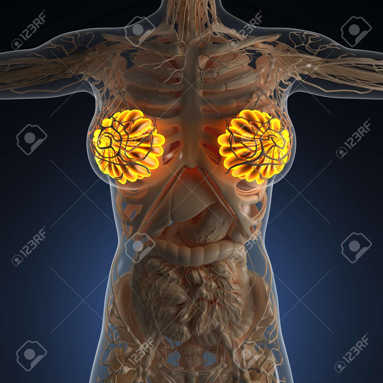 Science Anatomy Of Human Body With Glow Mammary Gland Stock Photo ...