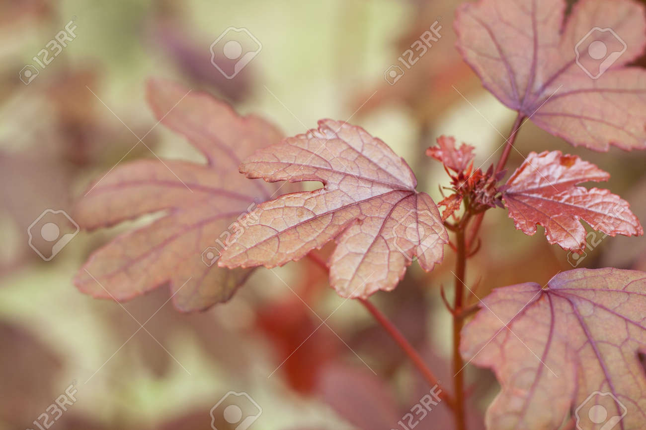 Hibiscus Red Leaves Like Maple Leaves Stock Photo Picture And