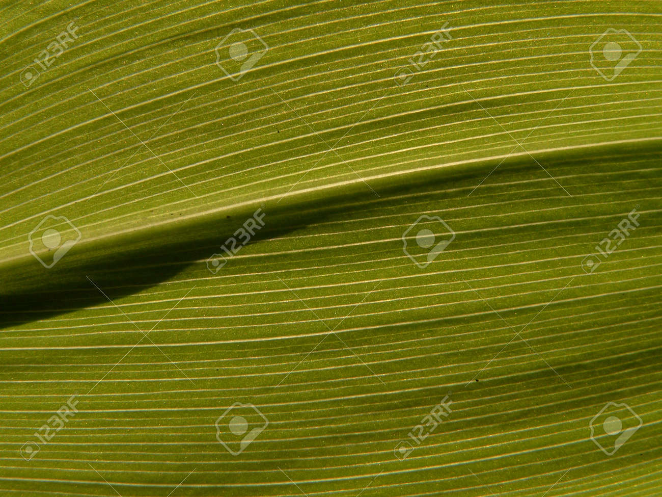 Leaf of the lily of the valley Stock Photo - 400821