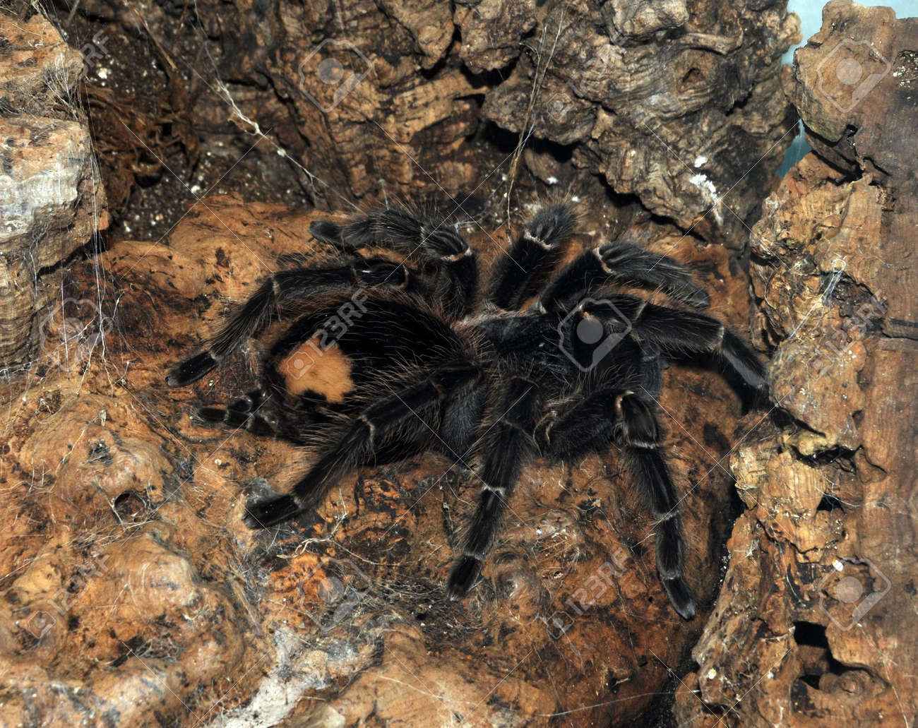 Closeup View Of Giant Tarantula Spider On A Rock