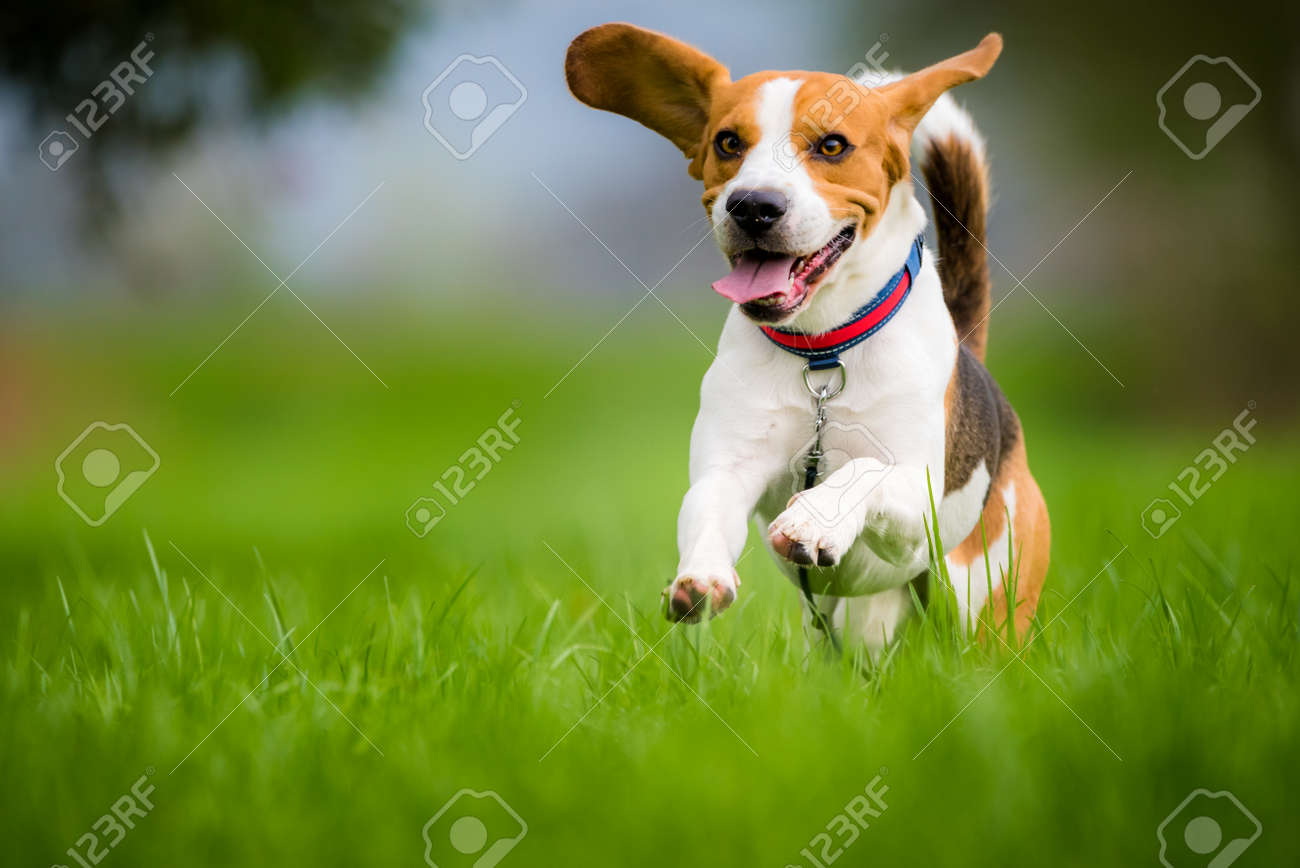 Dog Beagle running and jumping with tongue out through green grass field in a spring - 99956421