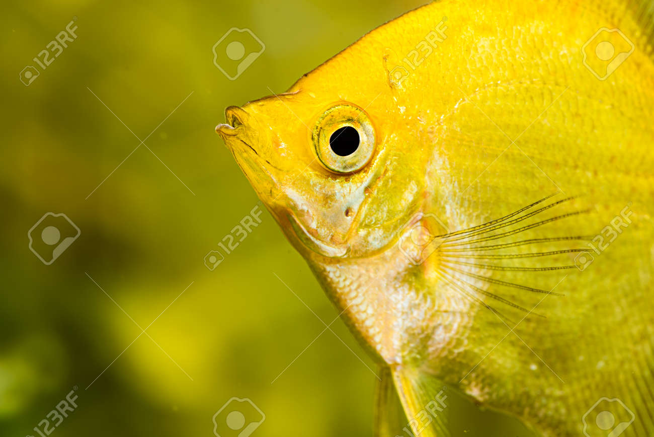 Gold Pterophyllum Scalare In Aqarium Water Yellow Angelfish Stock Photo Picture And Royalty Free Image Image 133959199
