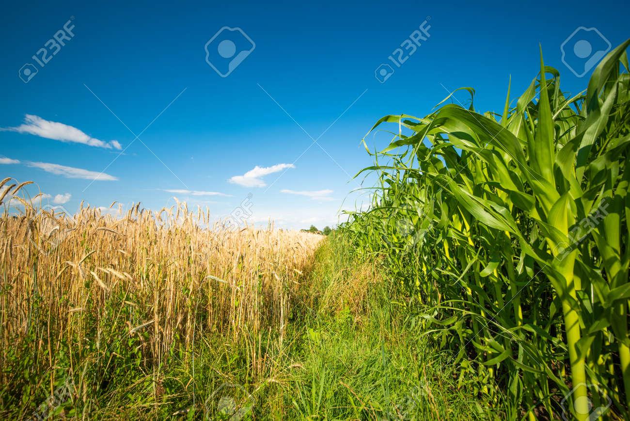 Corn maize field against blue sky in summer. - 135522639