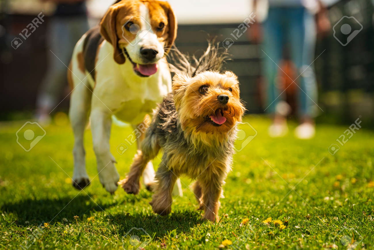 Cute Yorkshire Terrier dog and beagle dog chese each other in backyard. Running and jumping with toy towards camera. - 145605512