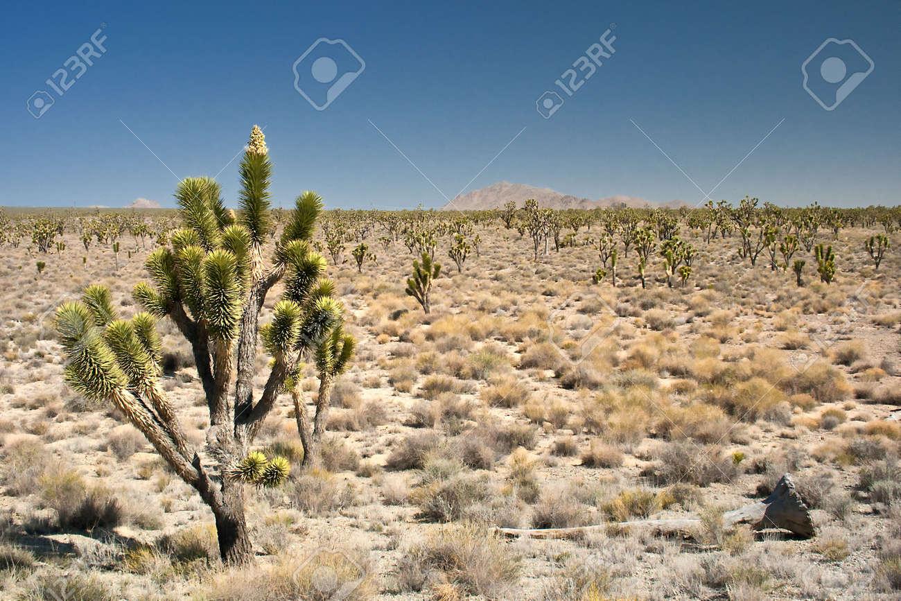 Mojave Desert Joshua Tree California USA Stock Photo - 6483683