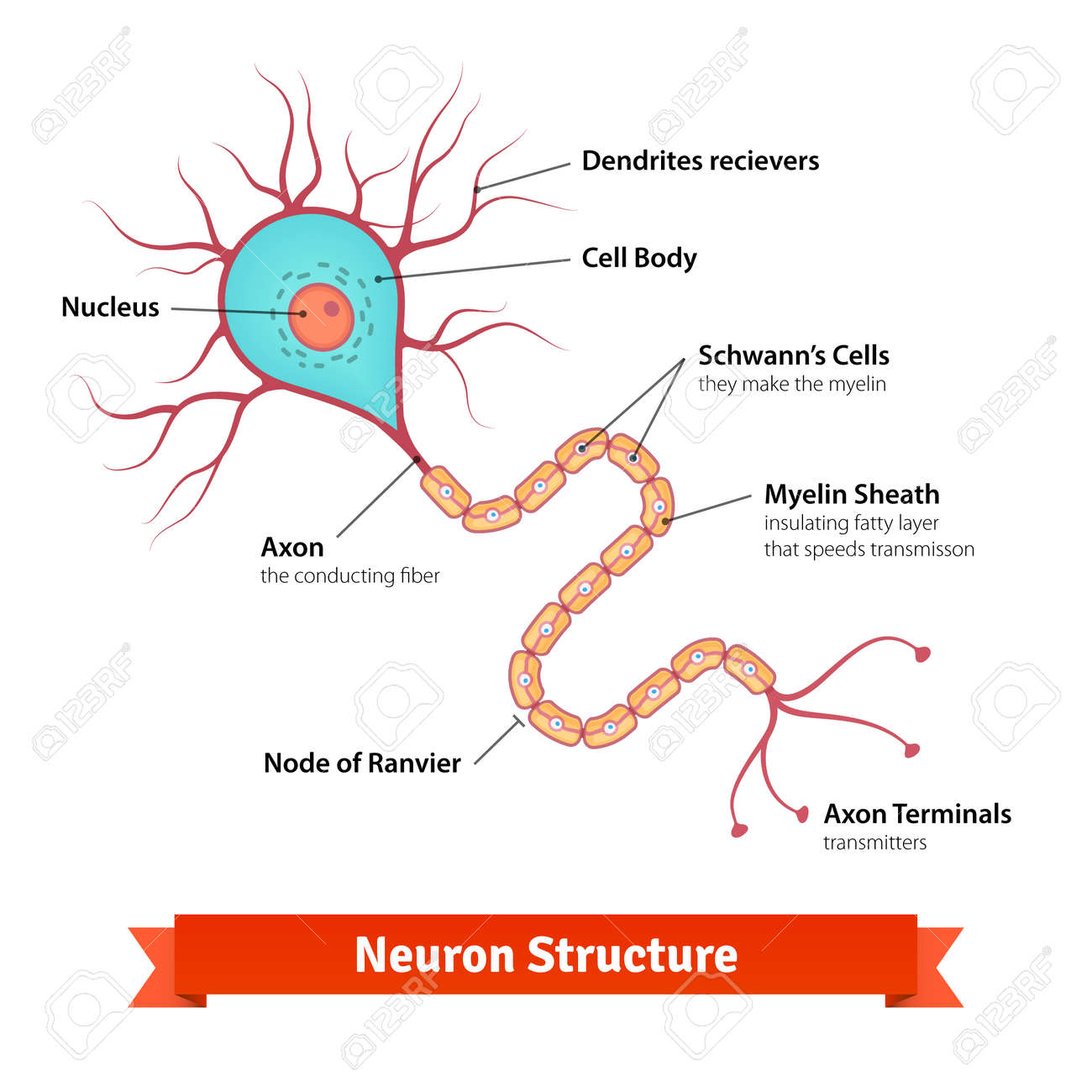 Brain neuron cell diagram vector colorful illustration royalty brain neuron cell diagram vector colorful illustration stock vector 49850027 ccuart Image collections