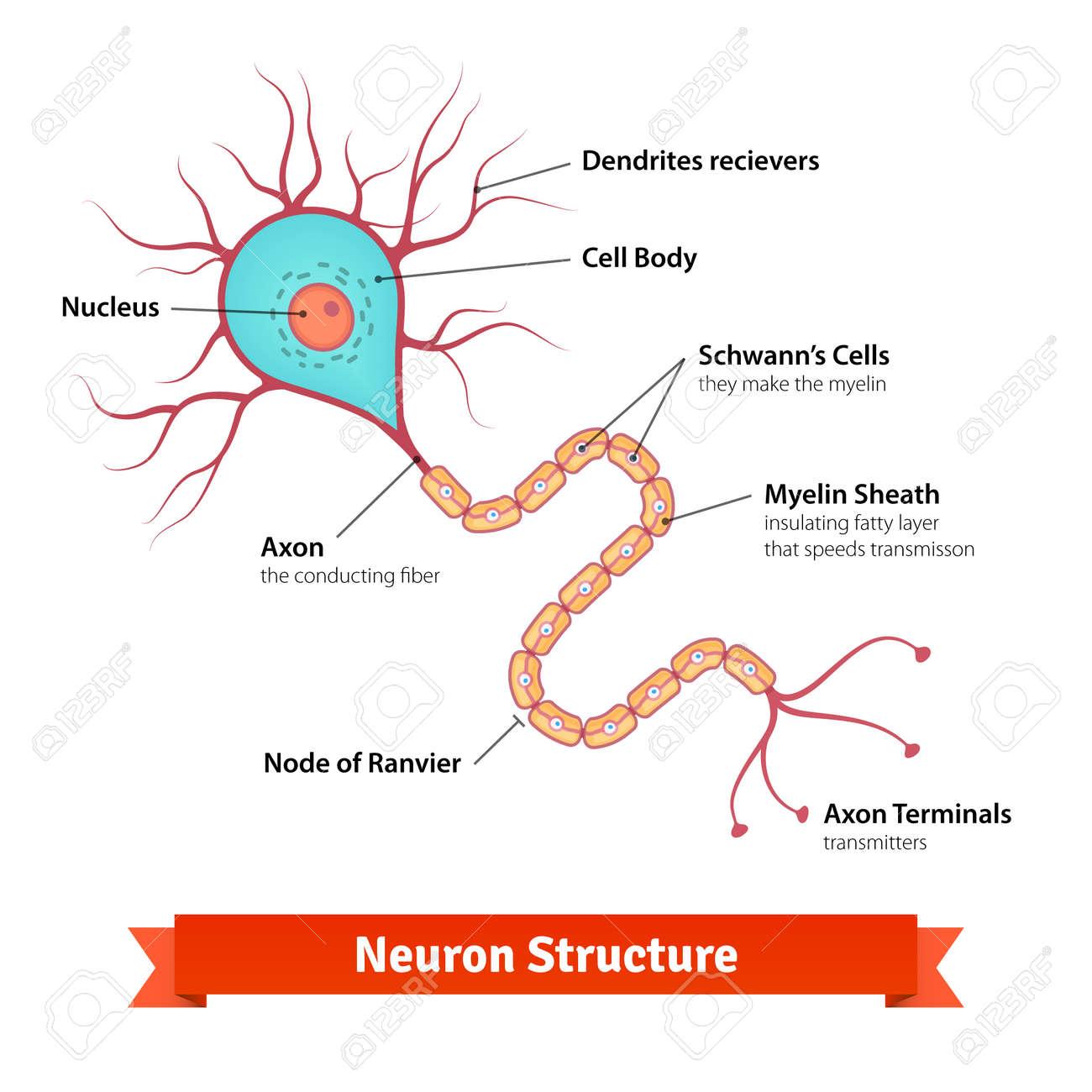 Neurona Cerebro Diagrama Celular. Vector La Ilustración De Colores ...