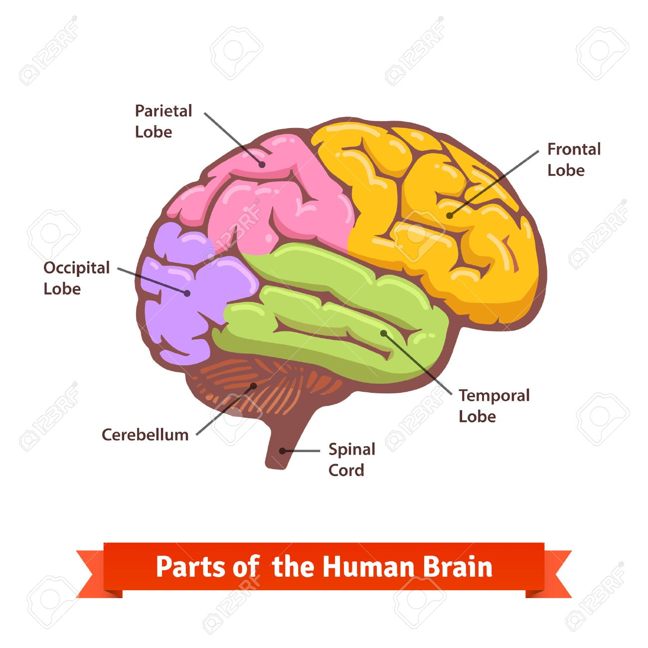 colored and labeled human brain diagram flat vector illustration Printable Diagram of the Brain