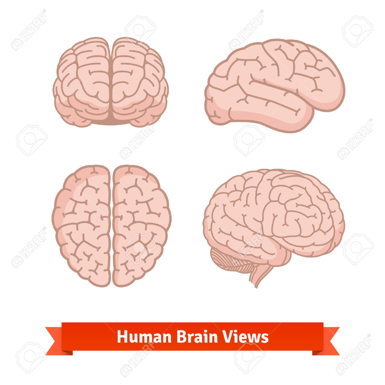 Brain Front View