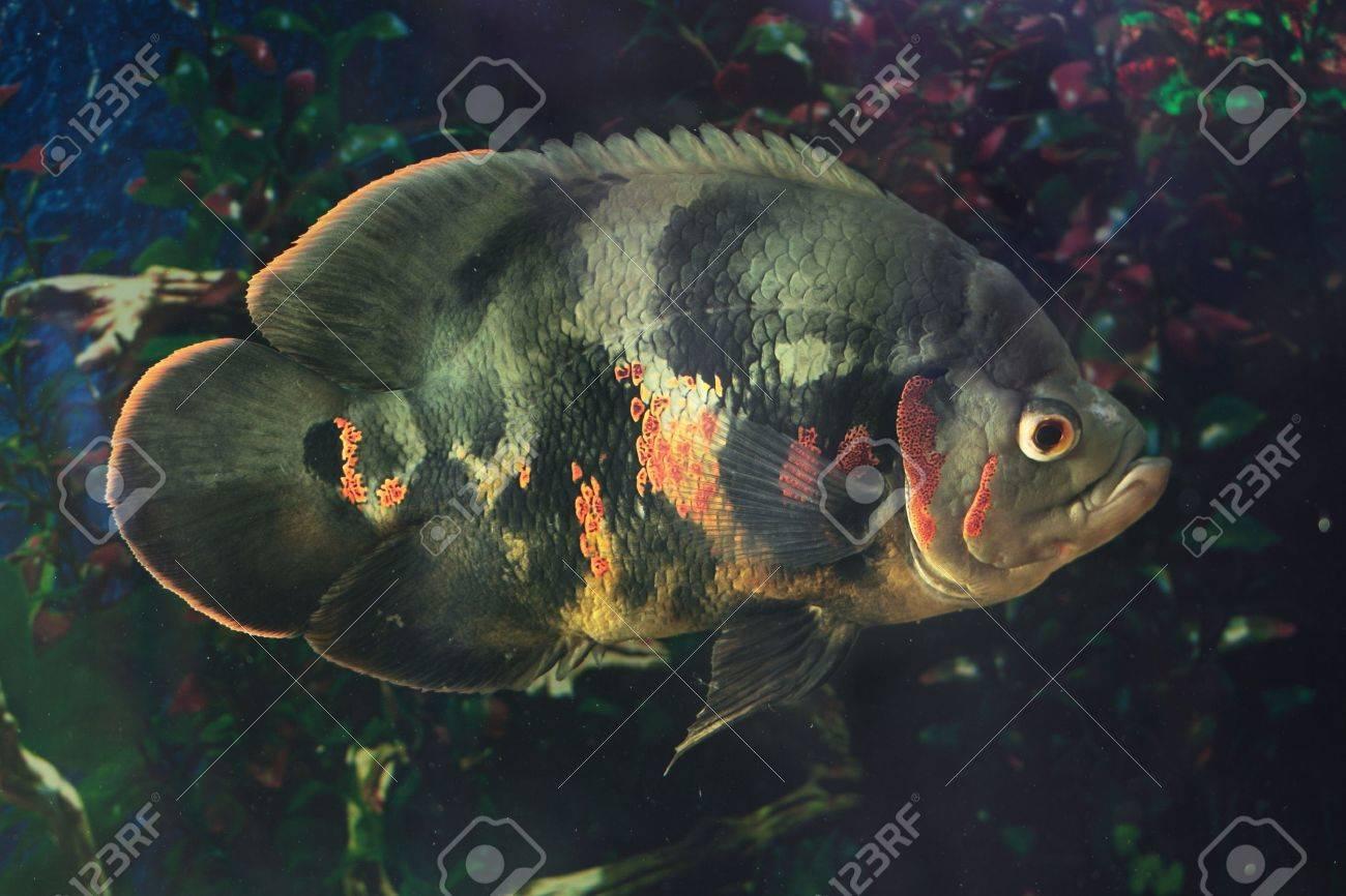 Astronotus ocellatus (Tiger), - big fresh-water fish, South American cichlid Stock Photo - 22064256