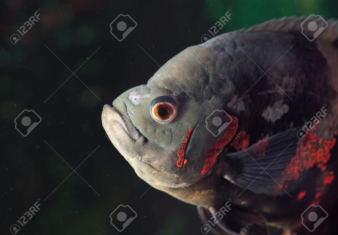 Astronotus ocellatus (Tiger), - big fresh-water fish, South American cichlid Stock Photo - 22064261