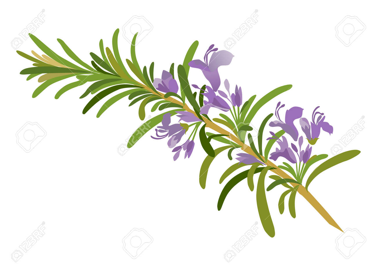 5 928 rosemary stock vector illustration and royalty free rosemary rh 123rf com Mickey Mouse Birthday Clip Art Garland Clip Art