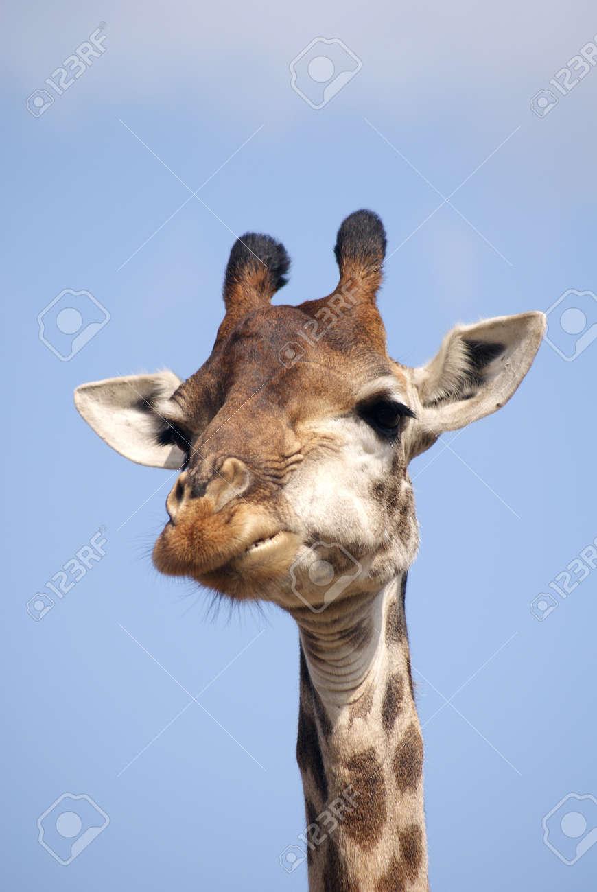 giraffe Stock Photo - 8376379