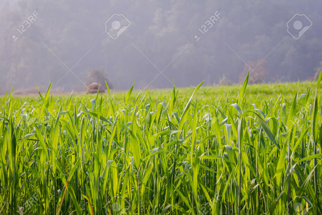 green wheat leaves in the field against green forest. hd quality