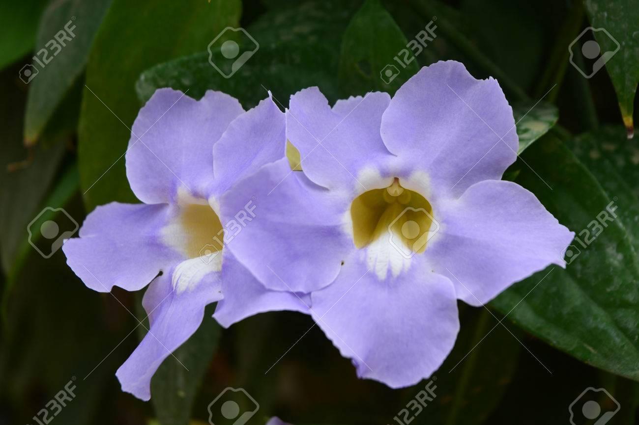 Schönen Blauen Lila Weichen Schönen Blume Von Laurel Uhr Weinstock ...