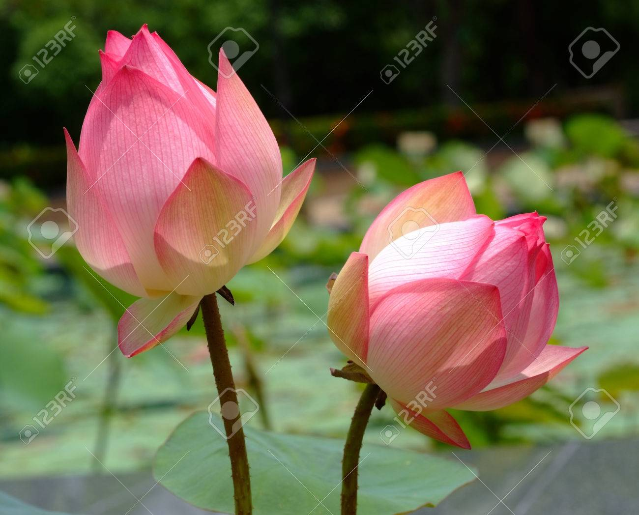 What Is The Lotus Flower In Buddhism Flowers Online 2018 Flowers