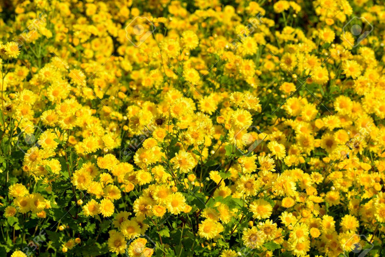 Geliebte Chrysanthemum Indicum Linn Flowers. Or Chrysanthemum Morifolium &EK_85