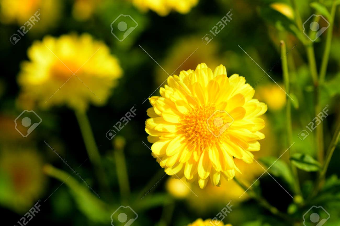 Ganz und zu Extrem Chrysanthemum Indicum Linn Flowers. Or Chrysanthemum Morifolium @WI_21