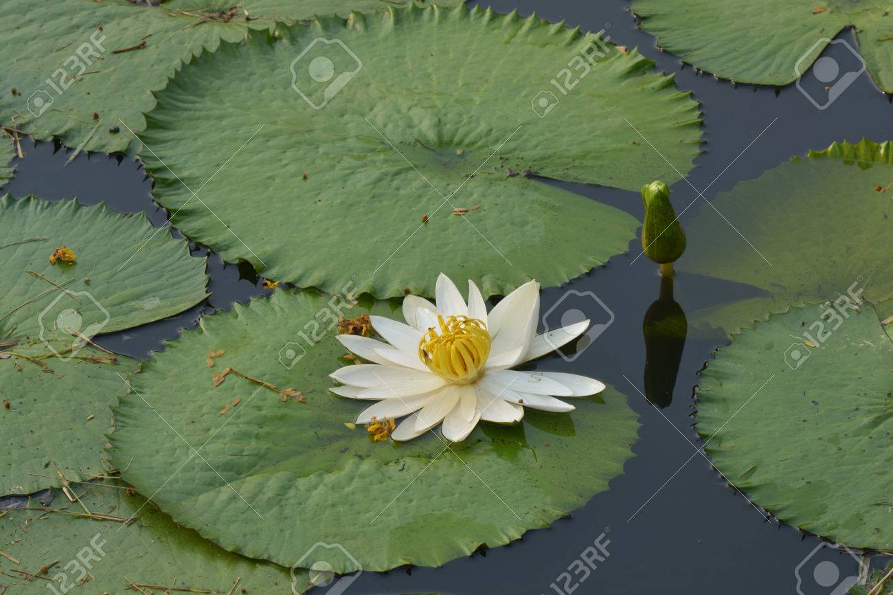 Beautiful White Tropical Water Lily Or Lotus Flower In Pond Stock