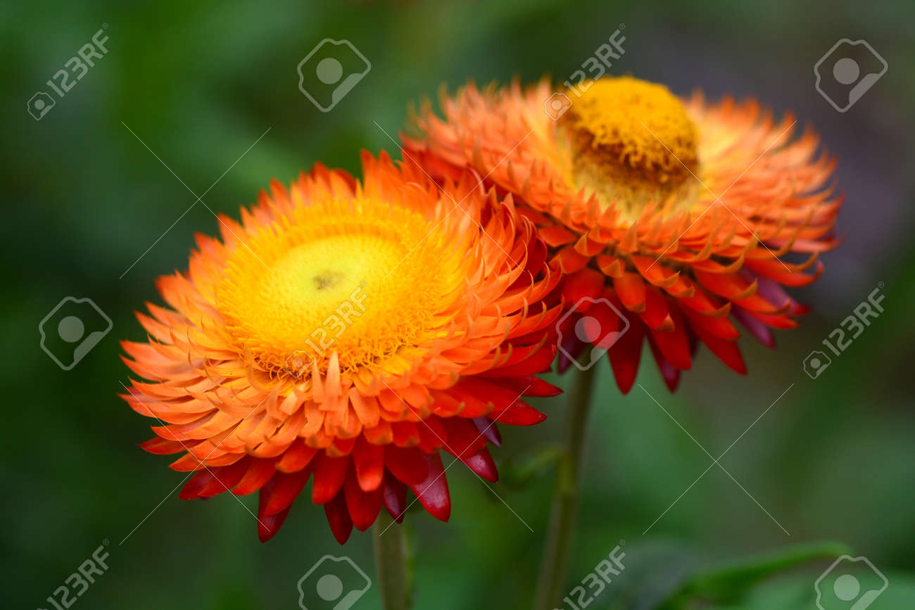Straw Flower Or Everlasting Or Paper Daisy Flower And Copy Space