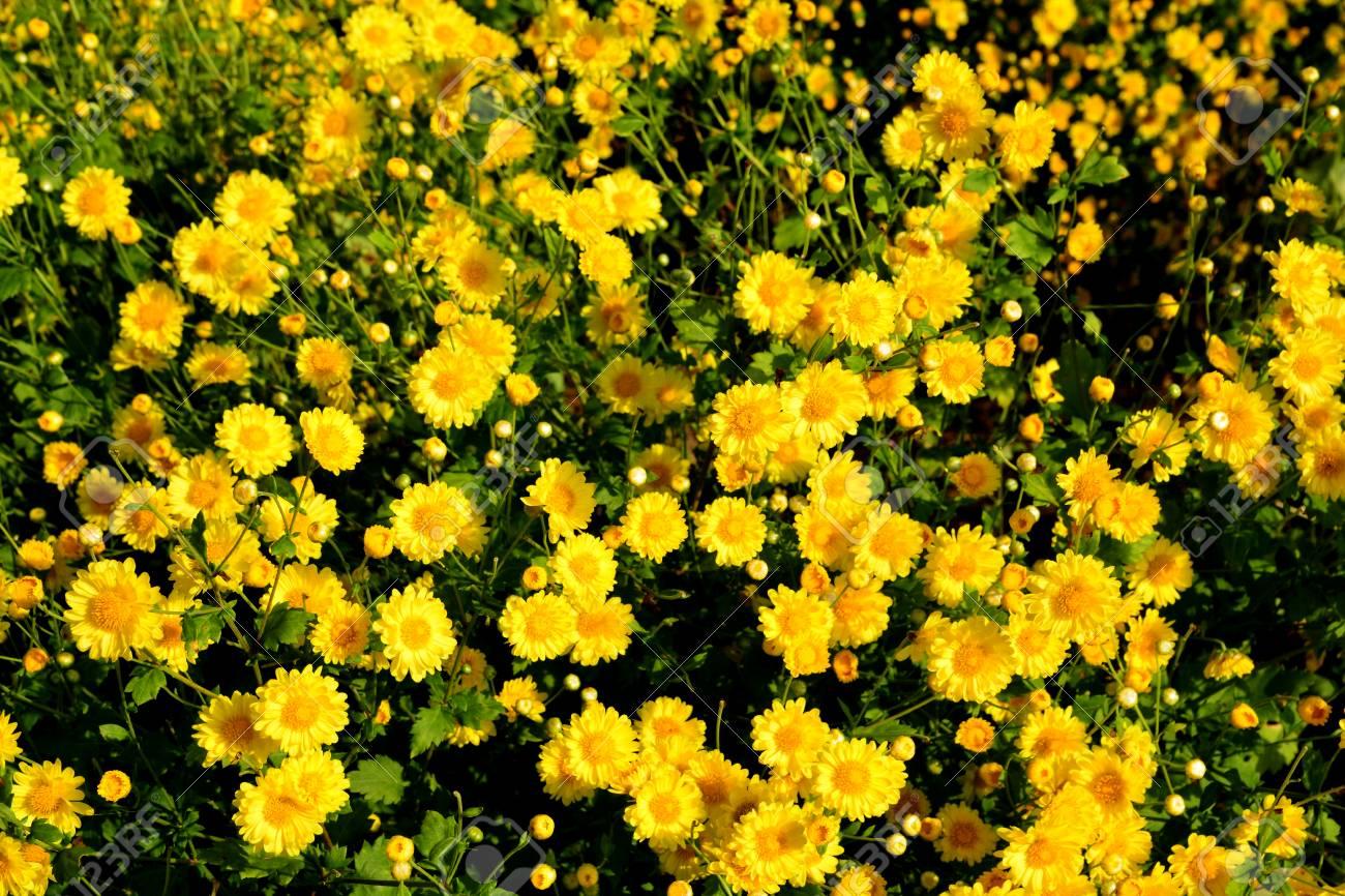 Prächtig Chrysanthemum Indicum Linn Flowers. Or Chrysanthemum Morifolium &BJ_52