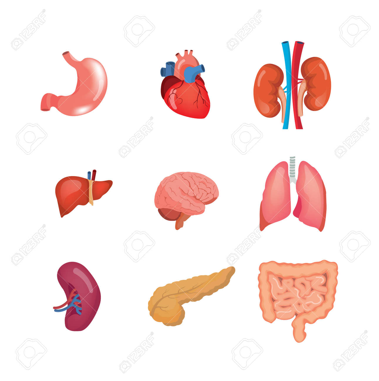 A Set Of Human Anatomy Organs, In Medical Science. Royalty Free ...