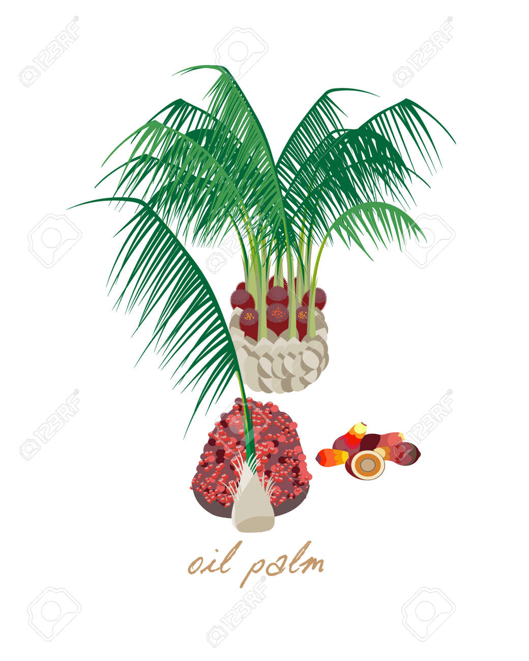 Beautiful tropical oil palm with leaves, flowers and fruits. - 83212495