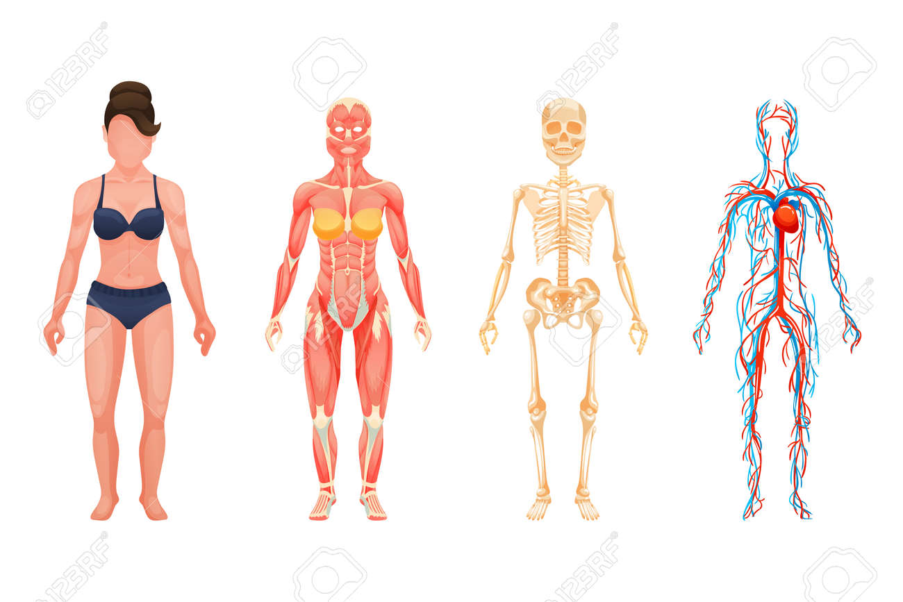 Anatomical structure of body of person, woman body. - 131076493
