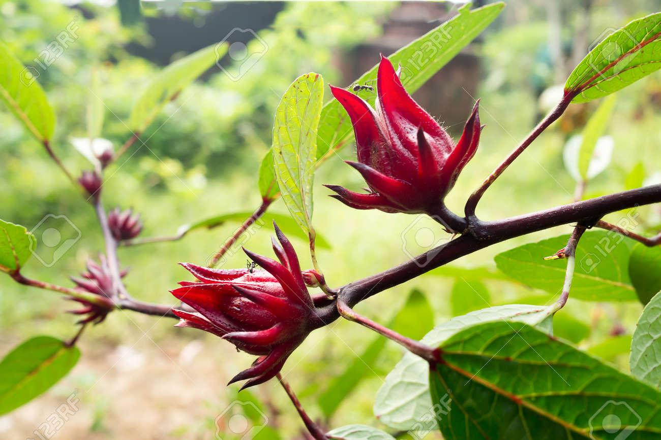 Fresh Red Hibiscus Sabdariffa Or Roselle Flowers In The Garden