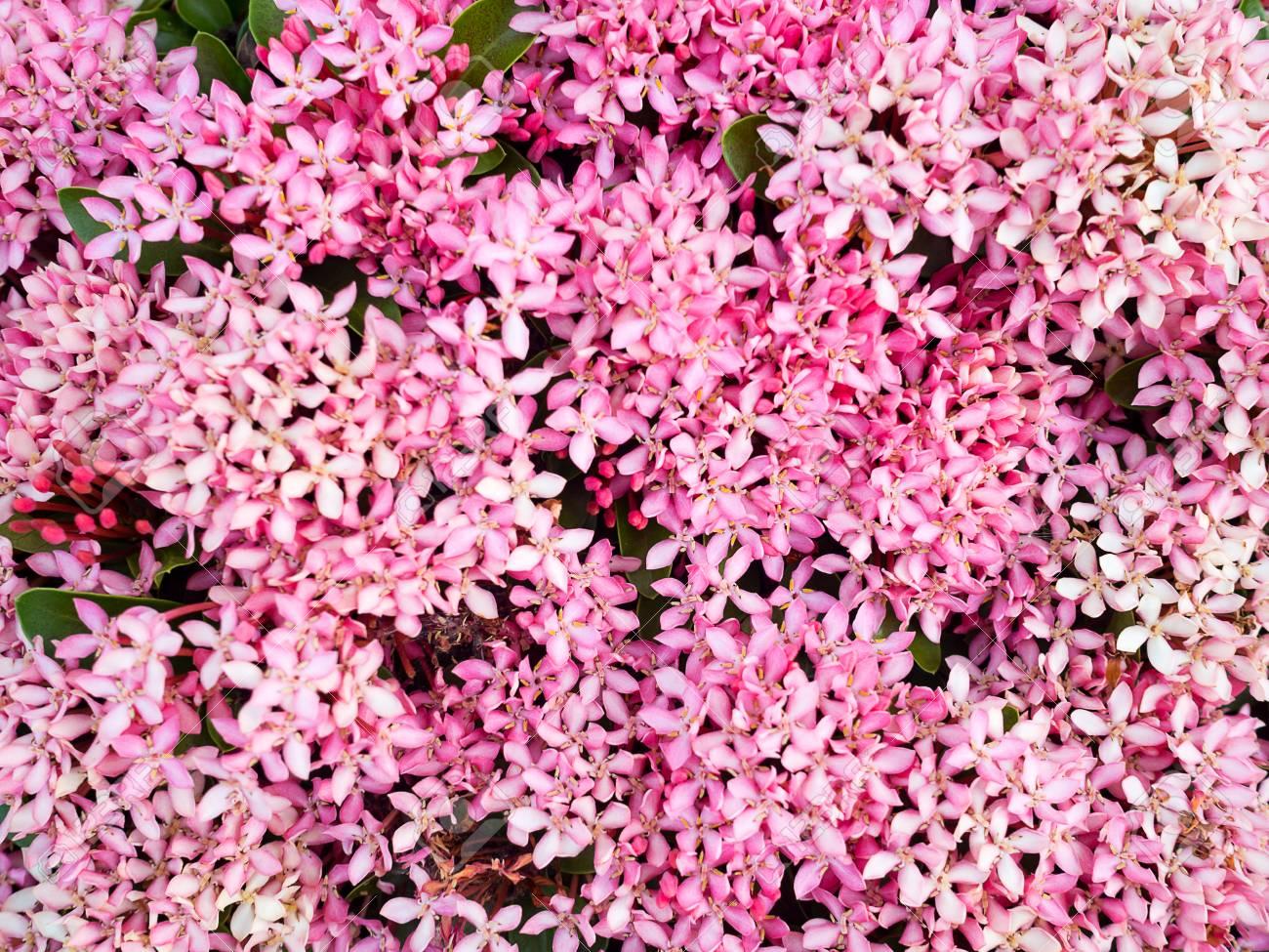 Pink Spike Flower Gallery Fresh Lotus Flowers