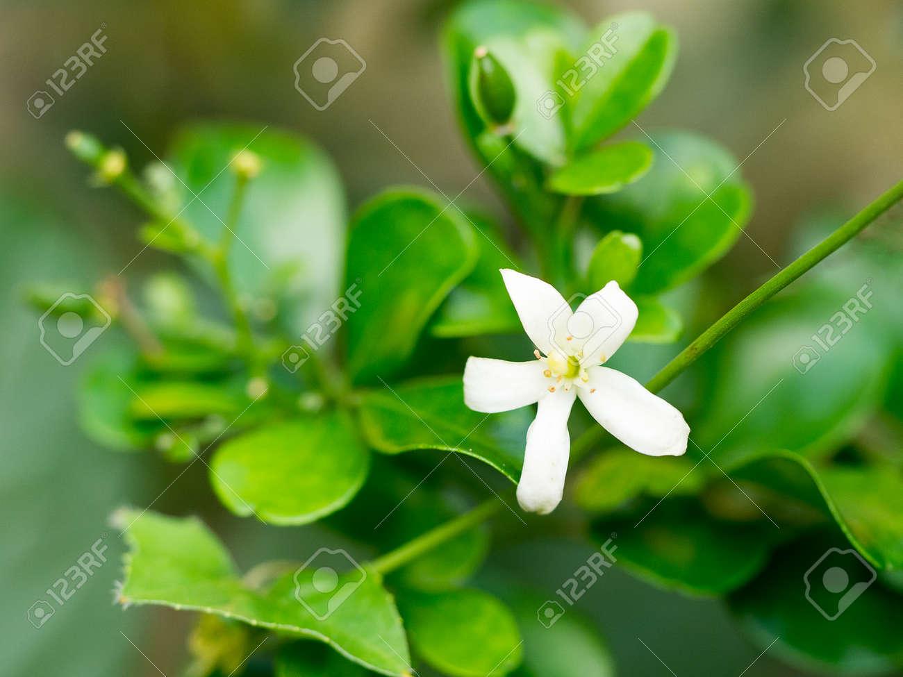 White Flower Orange Jessamine Flower Sweet Smell Flower For