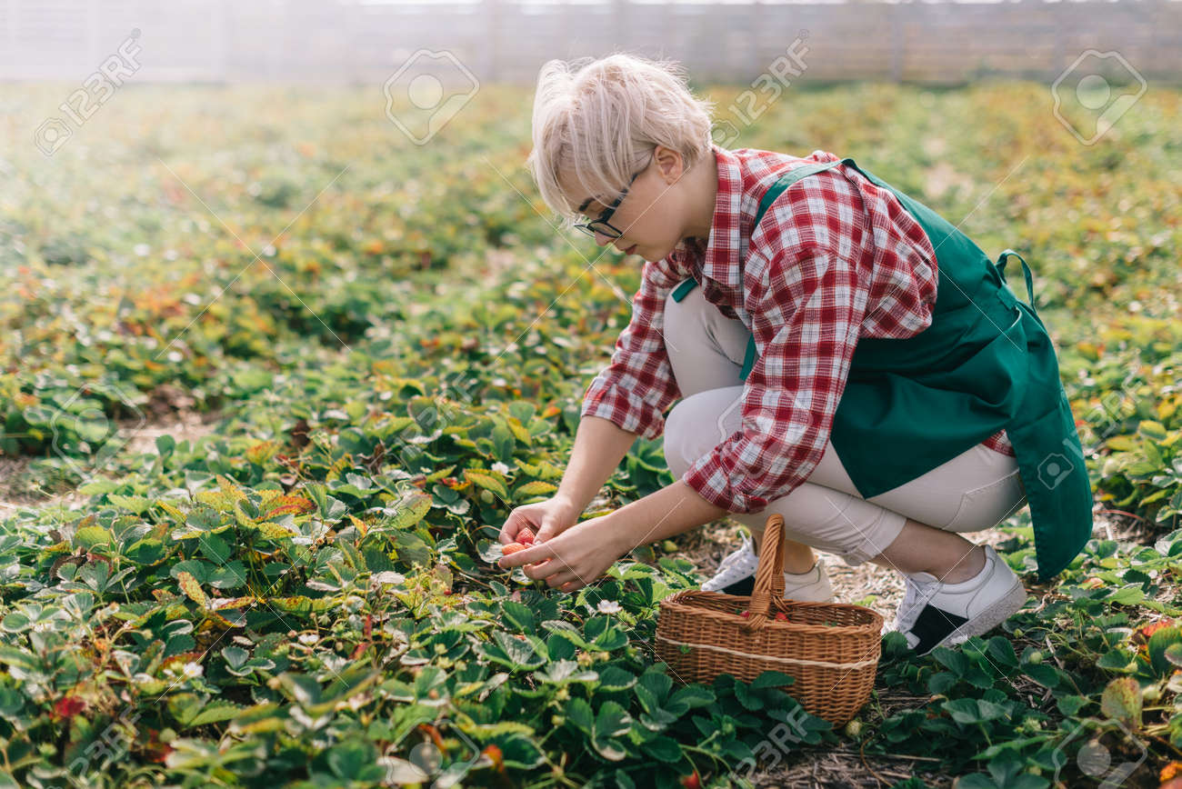 Farmer is harvesting strawberries. Young woman collects ripe strawberries in basket at plantation. - 170242502