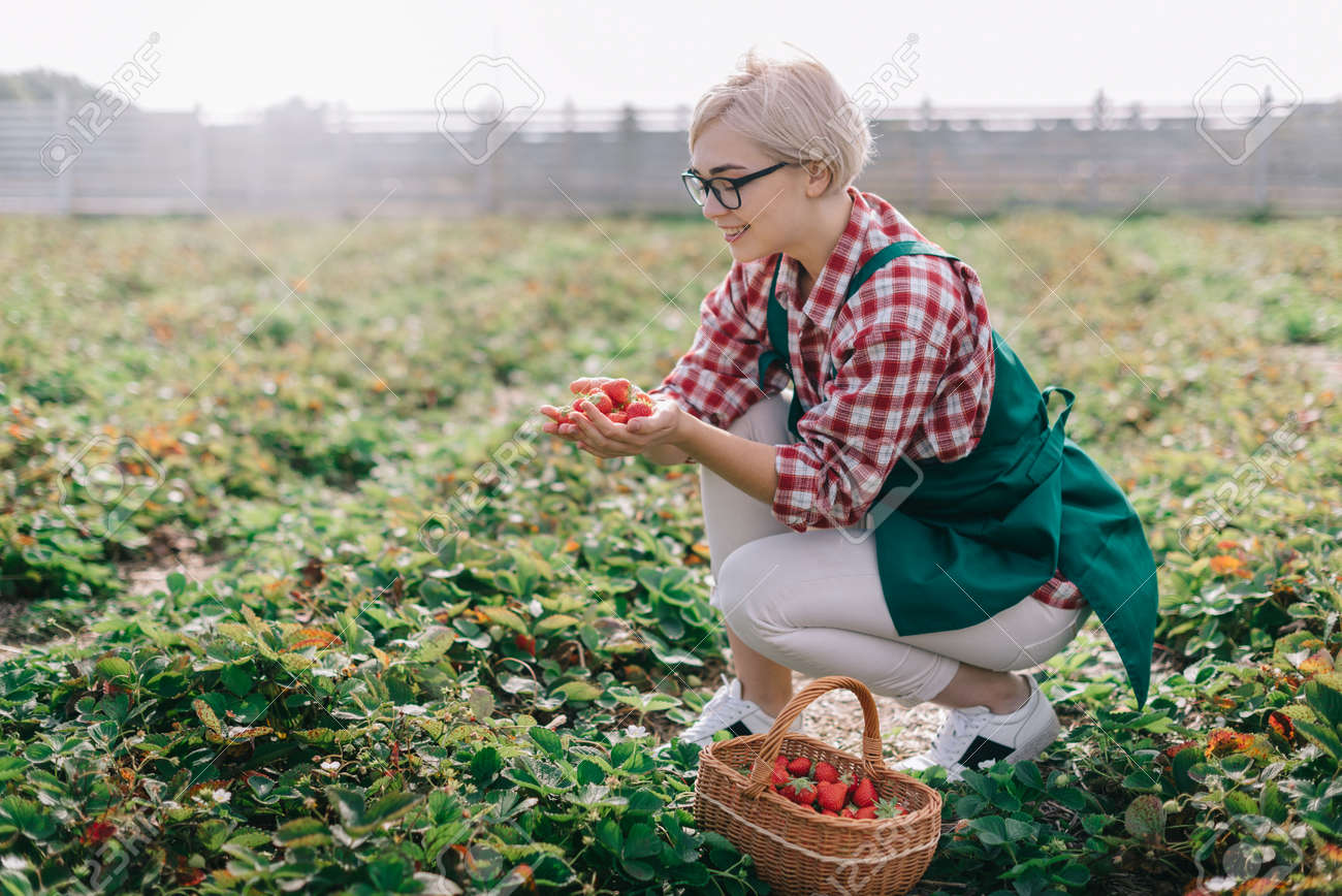 Farmer is harvesting strawberries. Young woman collects ripe strawberries in basket at plantation. - 170242548