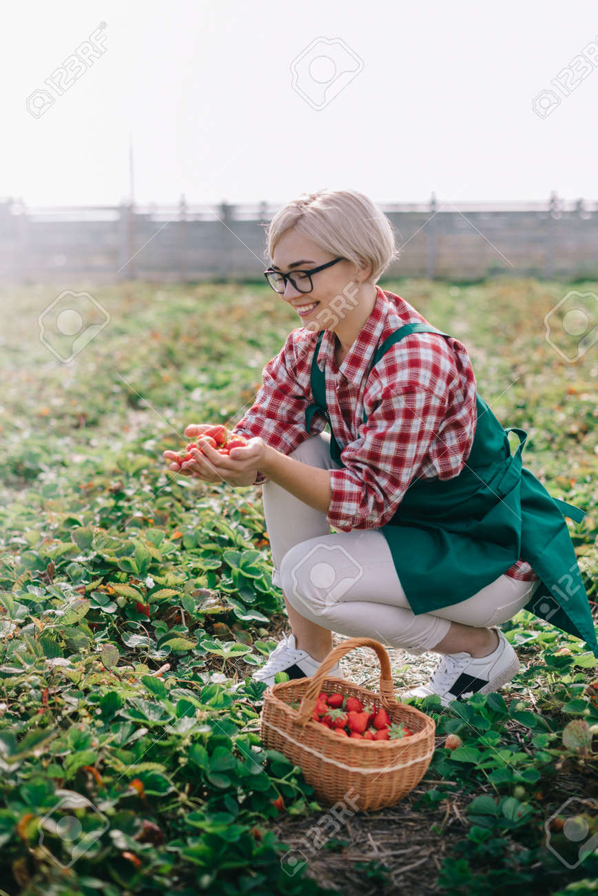 Farmer is harvesting strawberries. Young woman collects ripe strawberries in basket at plantation. - 171366580