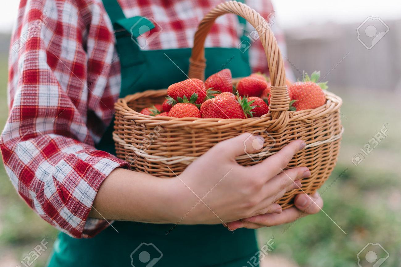 Farmer is harvesting strawberries. Basket full of ripe strawberries in hands of woman farmer. Close-up. - 171366803