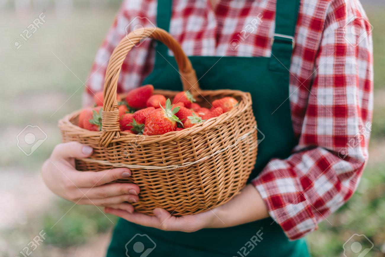 Farmer is harvesting strawberries. Basket full of ripe strawberries in hands of woman farmer. Close-up. - 171483214