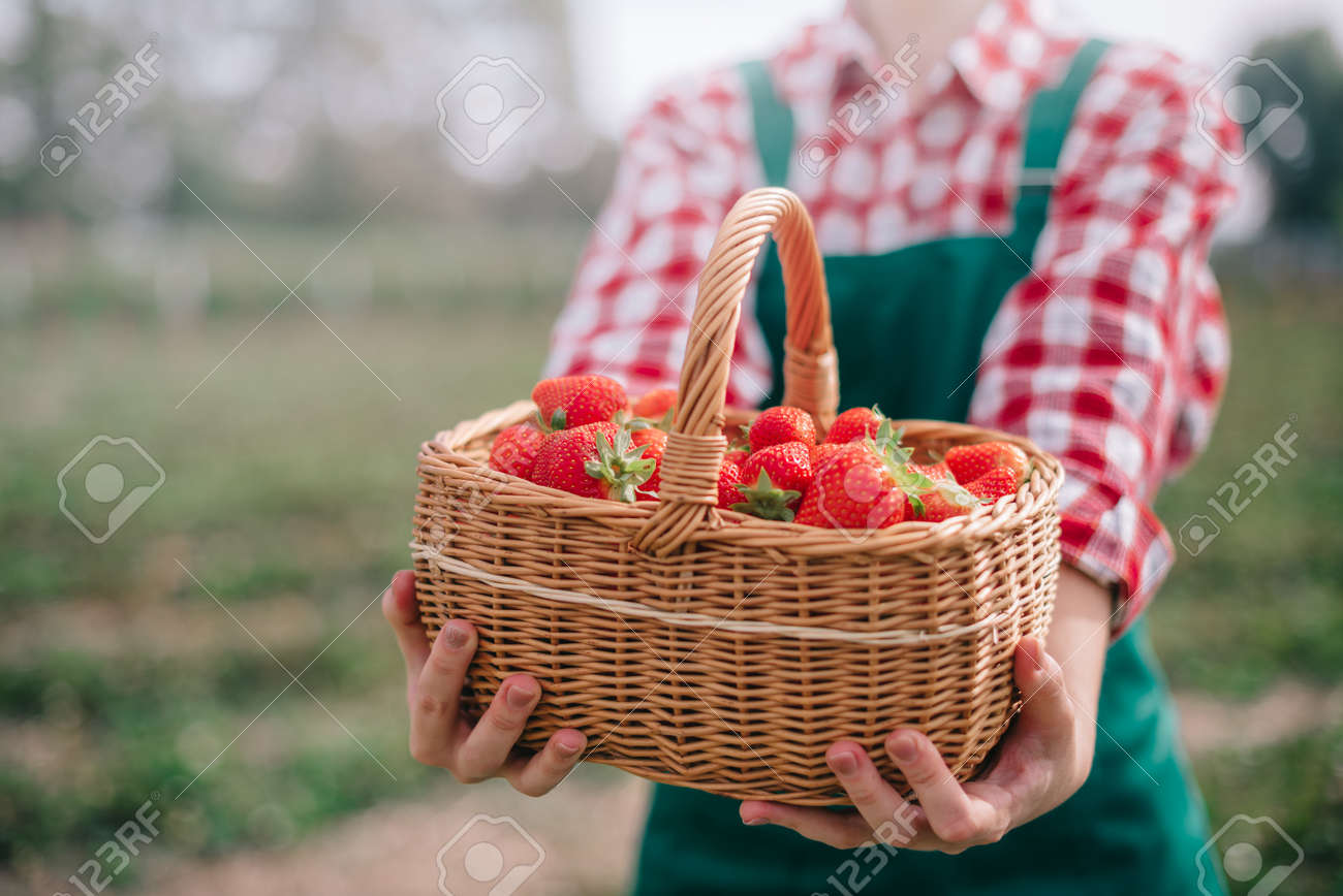 Harvesting strawberries. Close-up of full basket of ripe strawberries in hands of woman farmer. Selective focus. - 172585593