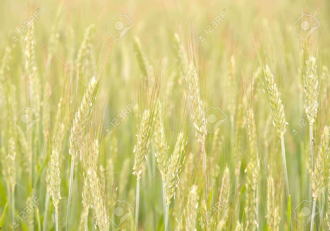a field of unripe rye. soft nature background. - 14006803