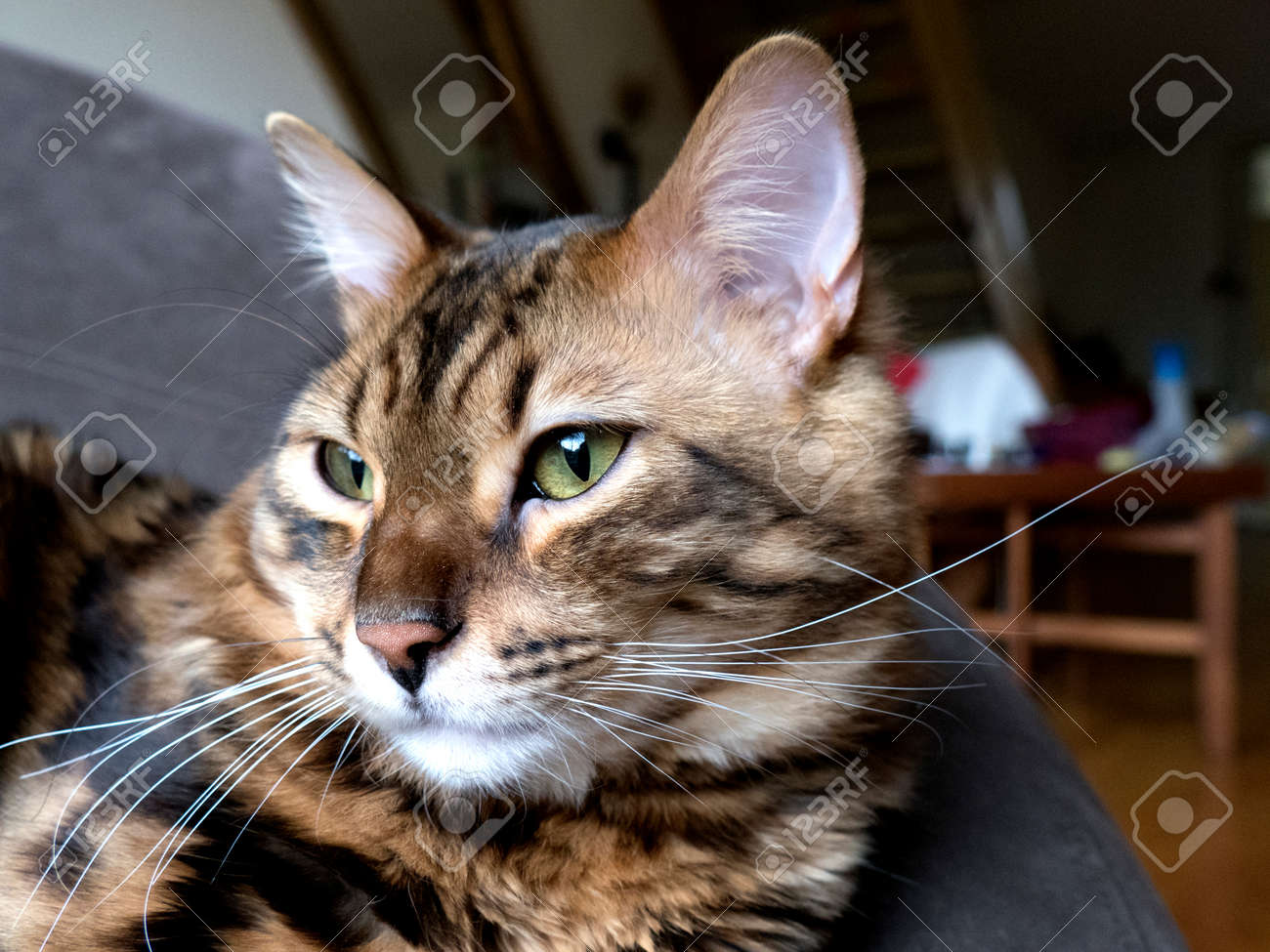 40420ec6c4 Bengal cat  Marble bengal cashmere cat taken at home Stock Photo - 56219715