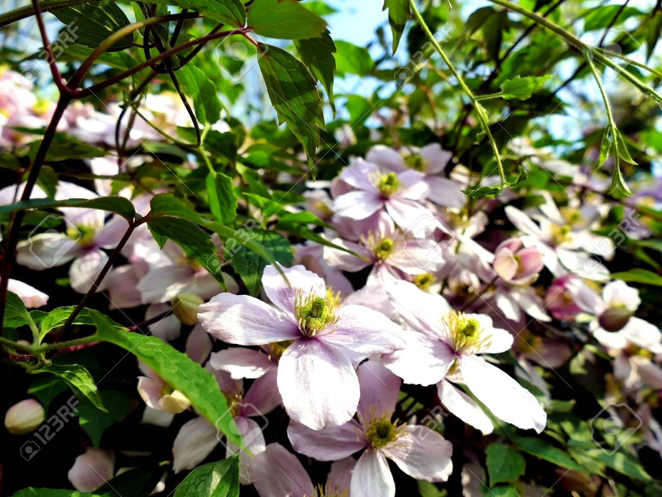 Clematis montana climbing plant with many pink flowers on a sunny clematis montana climbing plant with many pink flowers on a sunny day stock photo 58815501 mightylinksfo