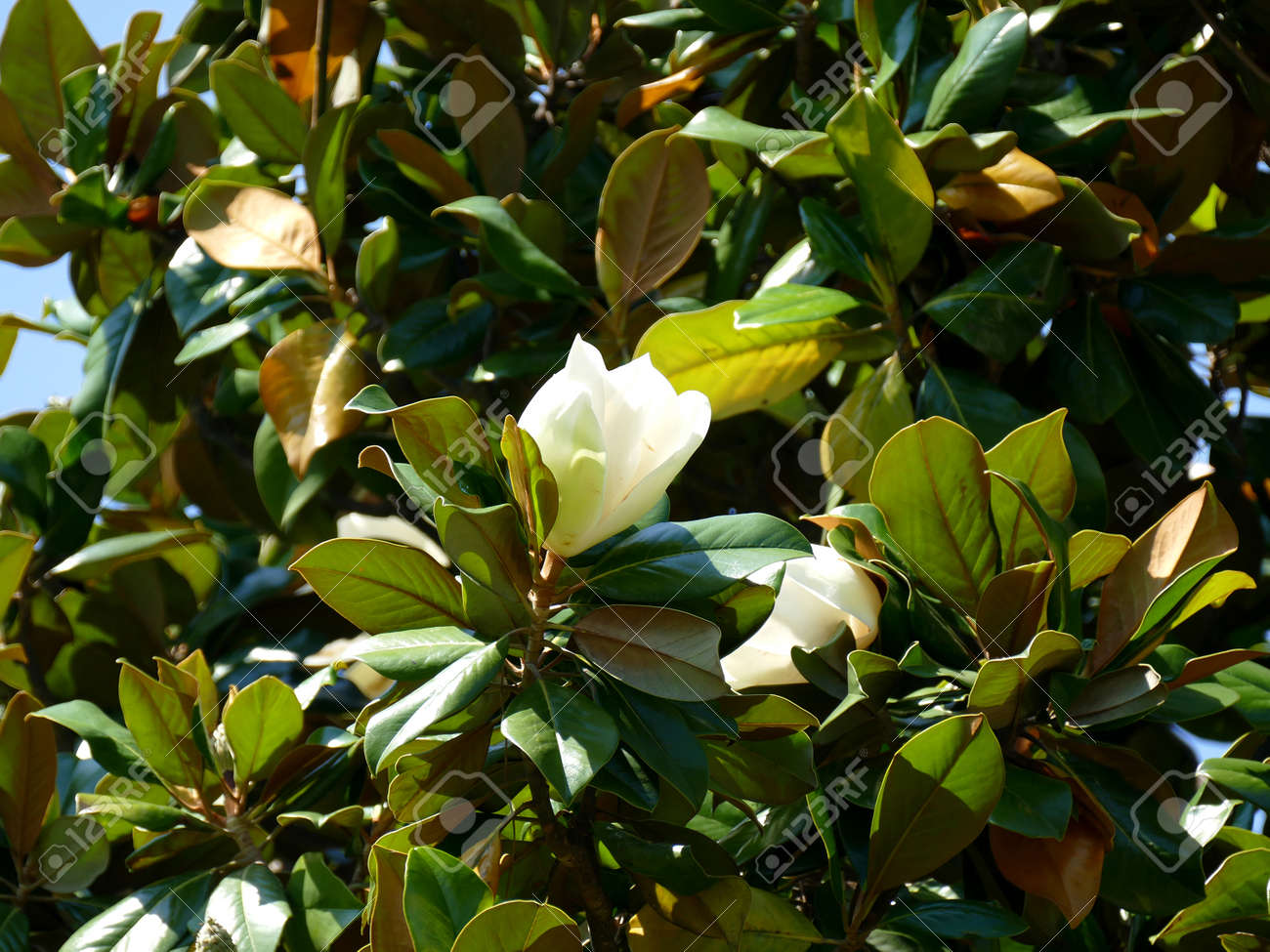 Southern Magnolia Tree Flower Stock Photo Picture And Royalty Free