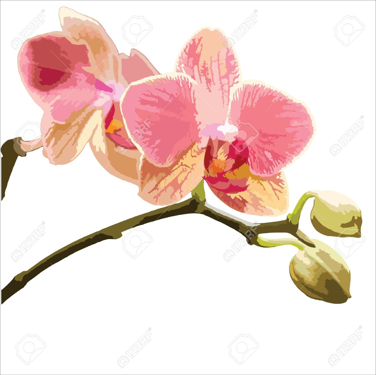 白い背景の上の胡蝶蘭のベクトル イラストのイラスト素材ベクタ