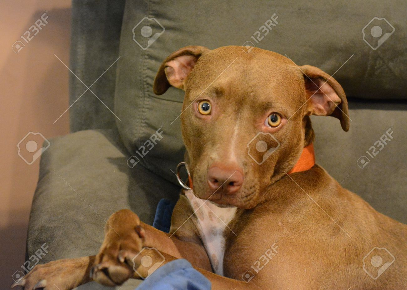 A Chocolate Lab And Pitbull Mix Dog Stock Photo, Picture And ...