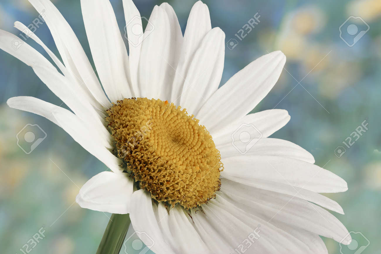 Closeup of a beautiful daisy flower in the nature stock photo closeup of a beautiful daisy flower in the nature stock photo 34363266 izmirmasajfo Choice Image