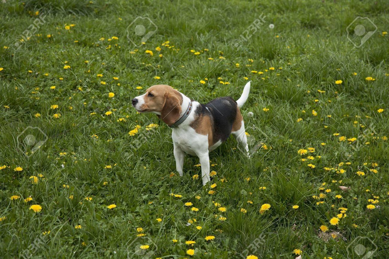 watchful american foxhound dog in a grass field - 7639459