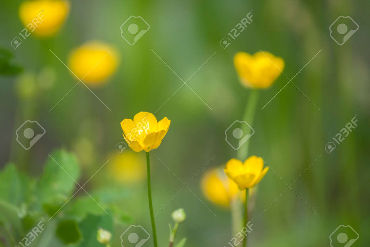 Rays Of The Setting Sun On Yellow Flowers Meadow Flowers Stock