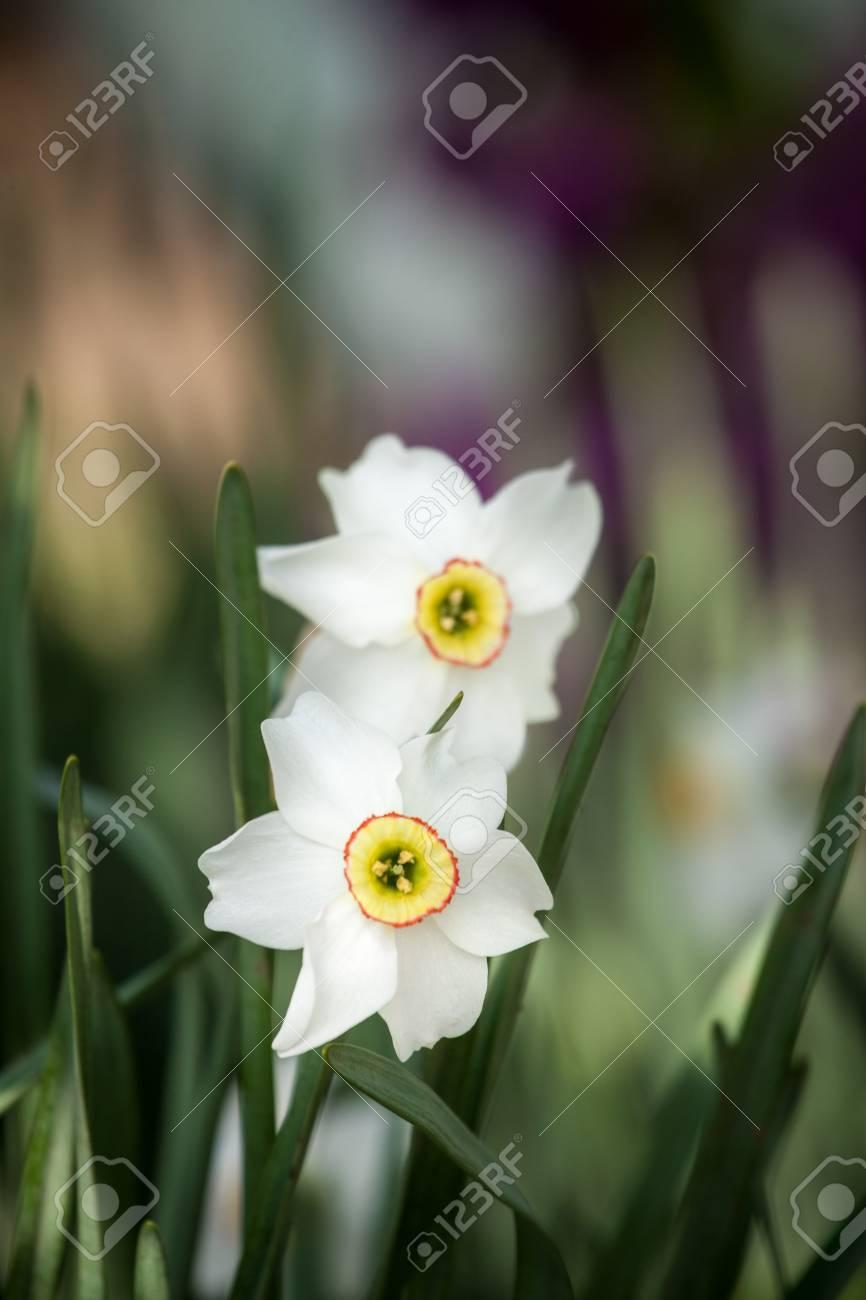 White daffodil flower in nature fresh dafodil flower stock photo stock photo white daffodil flower in nature fresh dafodil flower mightylinksfo