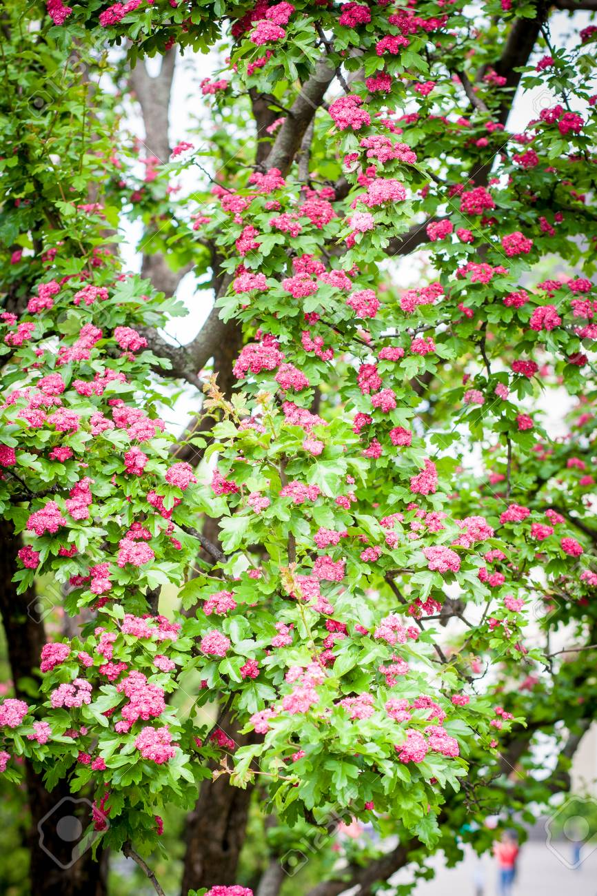 Pink Flowering Crabapple Tree In Central City Park Stock Photo